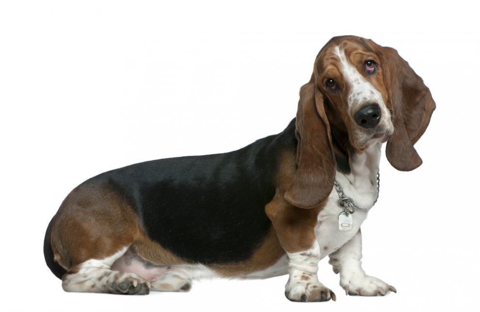 Basset hound, 22 months old, sitting in front of white background